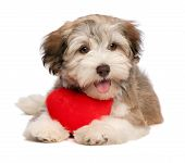 A lover chocolate valentine havanese puppy dog with a red heart isolated on white background poster