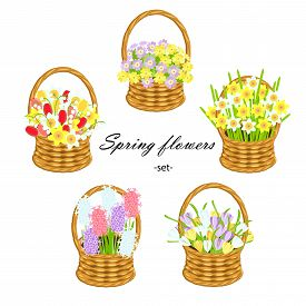 Spring Flower Set. Daffodeal, Tulip, Hyacint, Primarose, Crocus In Wicker Basket Art Design Stock Ve