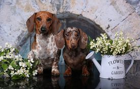 dachshund puppy paibald   tan color and  lilies of the valley