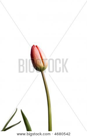 Tulip With Leafs Isolated On White