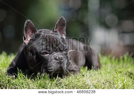 Mature French Bulldog