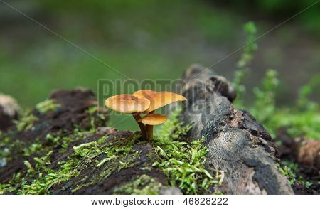 A trio of small orange mushrooms
