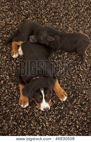 Dog And Pig On Carpet