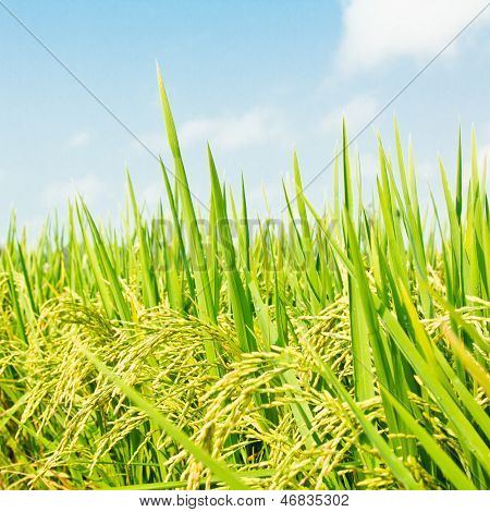 Rice Against Blue Sky with clouds