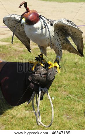 Saker falcon with a hood at a falconry display. The Saker Falcon is a very large falcon. This species breeds from eastern Europe eastwards across Asia to Manchuria. poster