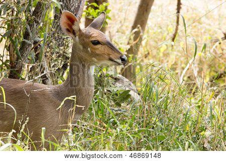 Bush Buck - Tragelaphus Sylvaticus