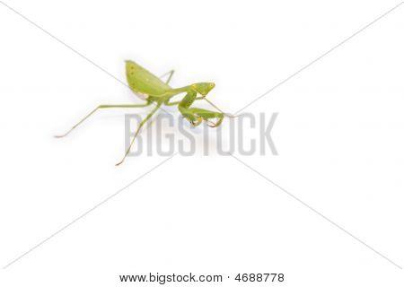 Bright Green Mantis On White