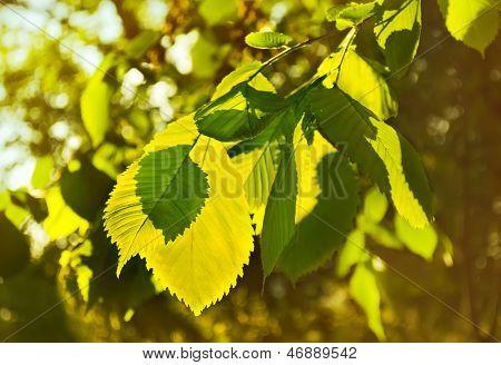 Elm Leaves In A Beautiful Backlit.