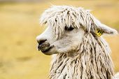 Peruvian alpaca , in natural background . poster