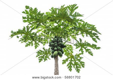 papaya tree on isolated white background