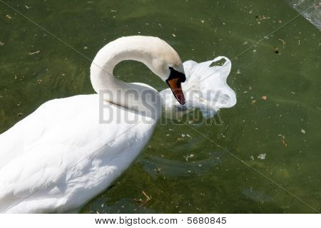 Swan In Lake With Pollution