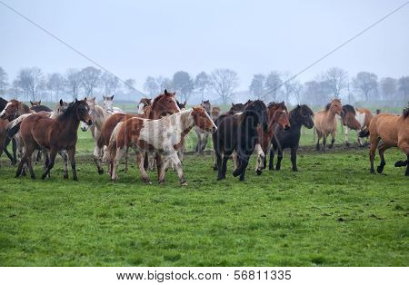 horses herd on misty pasture outdoors, Holland poster