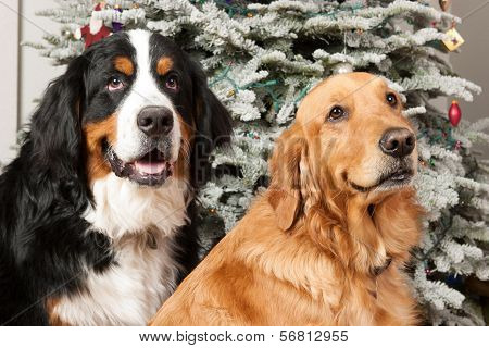 Two dogs at Christmas