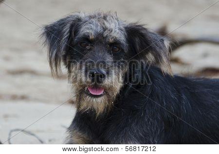 Vagabond dog