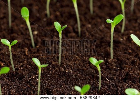 Green seedling growing out of soil poster