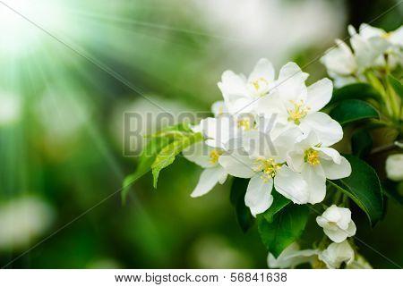 Quince Tree Blossom Macro