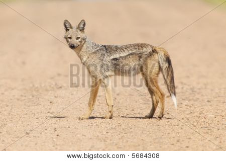 Rare shot of a Side Striped Jackal poster