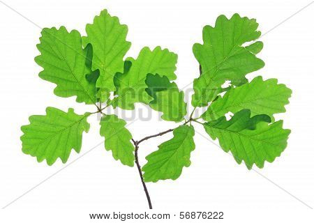 Oak leaves isolated against a white background (Quercus robur) poster
