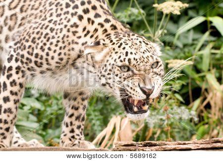 Snarling Persian Leopard