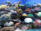 Coral sea anemones and other colorful life inside a large saltwater aquarium poster