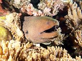 Giant Moray Eel (Muraenidae) coming out of the coral reef, underwater in Indo-Pacific Ocean, Indonesia. poster