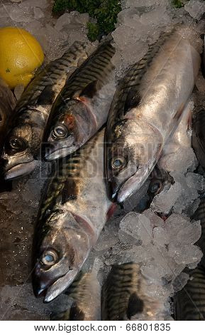 Sussex Mackerel