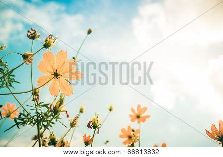 Yellow Cosmos Flower Vintage