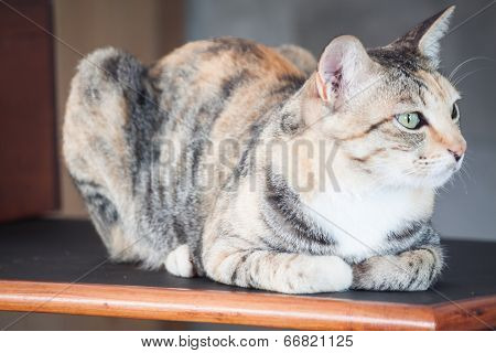 Female Cat Sitting On Wooden Shelf