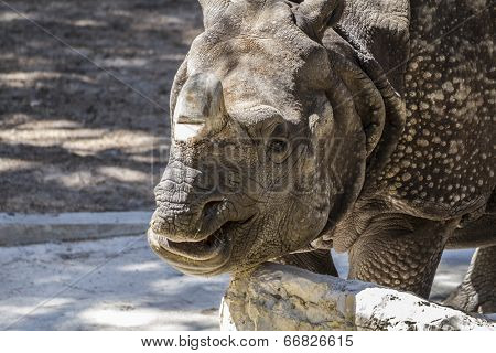 pachyderm, danger, Indian rhino with huge horn and armor skin