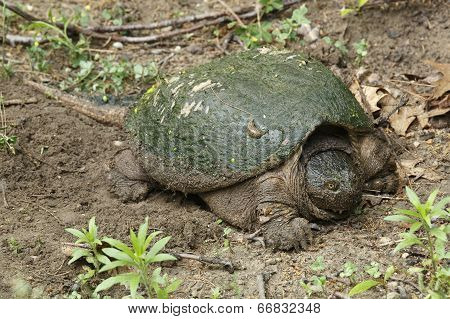 Female Snapping Turtle