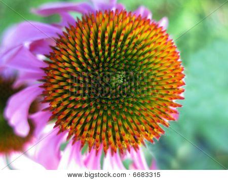 Echinacea Flower Head
