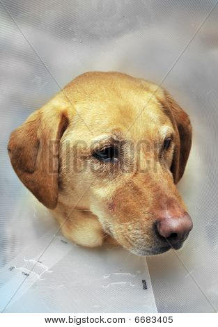 Injured Yellow Lab Dog With Cone