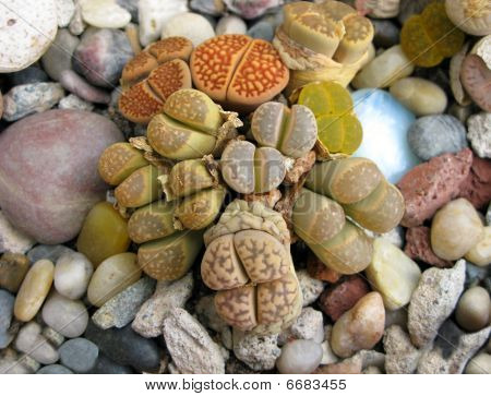 Yellow Lithops