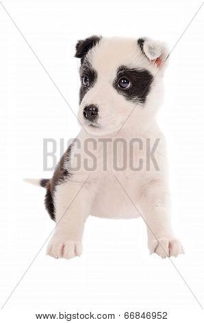Collie Puppy Sitting