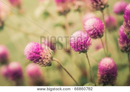 Globe Amaranth Or Bachelor Button Flower Vintage