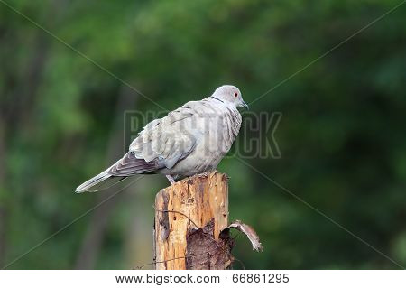 Eurasian Collared Dove Standing On Stump