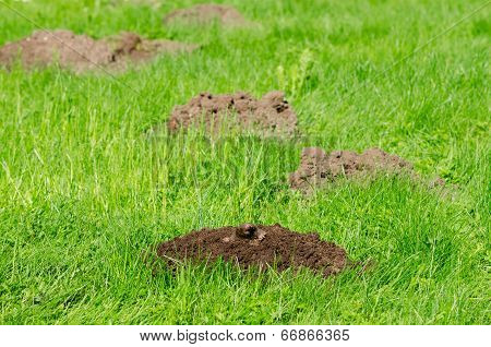 Mole Hills On Lawn Grass And Animal Head In Soil