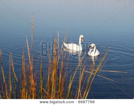 Beautiful Swans on a blue clear lake