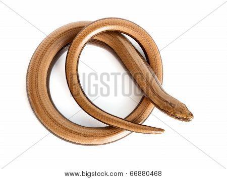 Slow worm or legless lizard on white background. Anguis fragilis poster