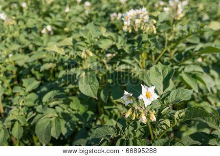 White And Yellow Flowering Potato Plants