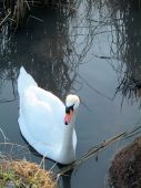 Picture of Swan near bank of pond poster