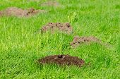 Mole hills on lawn grass and animal head in soil. Enemy for beautiful lawn. poster