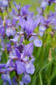 Closeup of violet wild iris on green meadow poster