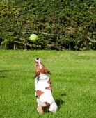 A Jack Russell terrier preparing to jump and catch her ball. Photo taken on a summer afternoon in rural England. poster