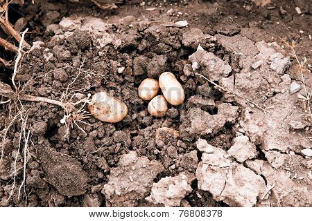 potato harvest - potato in the loam with plant