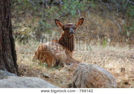 Very Young Spotted Elk