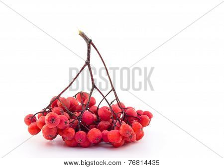 Bunch Of Red Rowan On A White Background