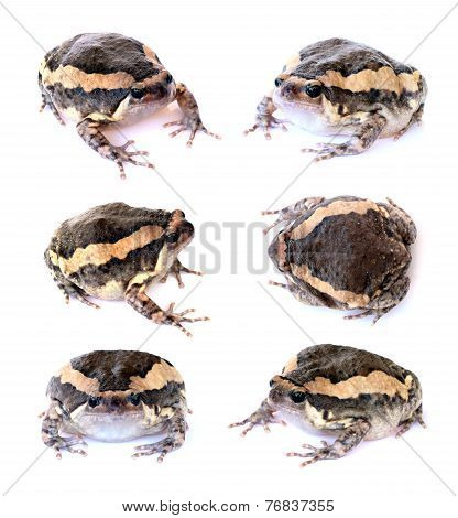 Bullfrog Set Isolate On A White Background