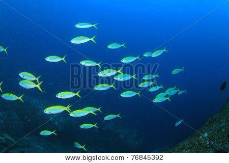 School of Fusilier fish