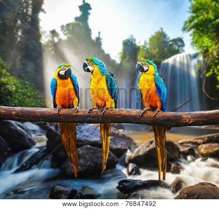 Blue-and-Yellow Macaw (Ara ararauna), also known as the Blue-and-Gold Macaw against tropical waterfall background